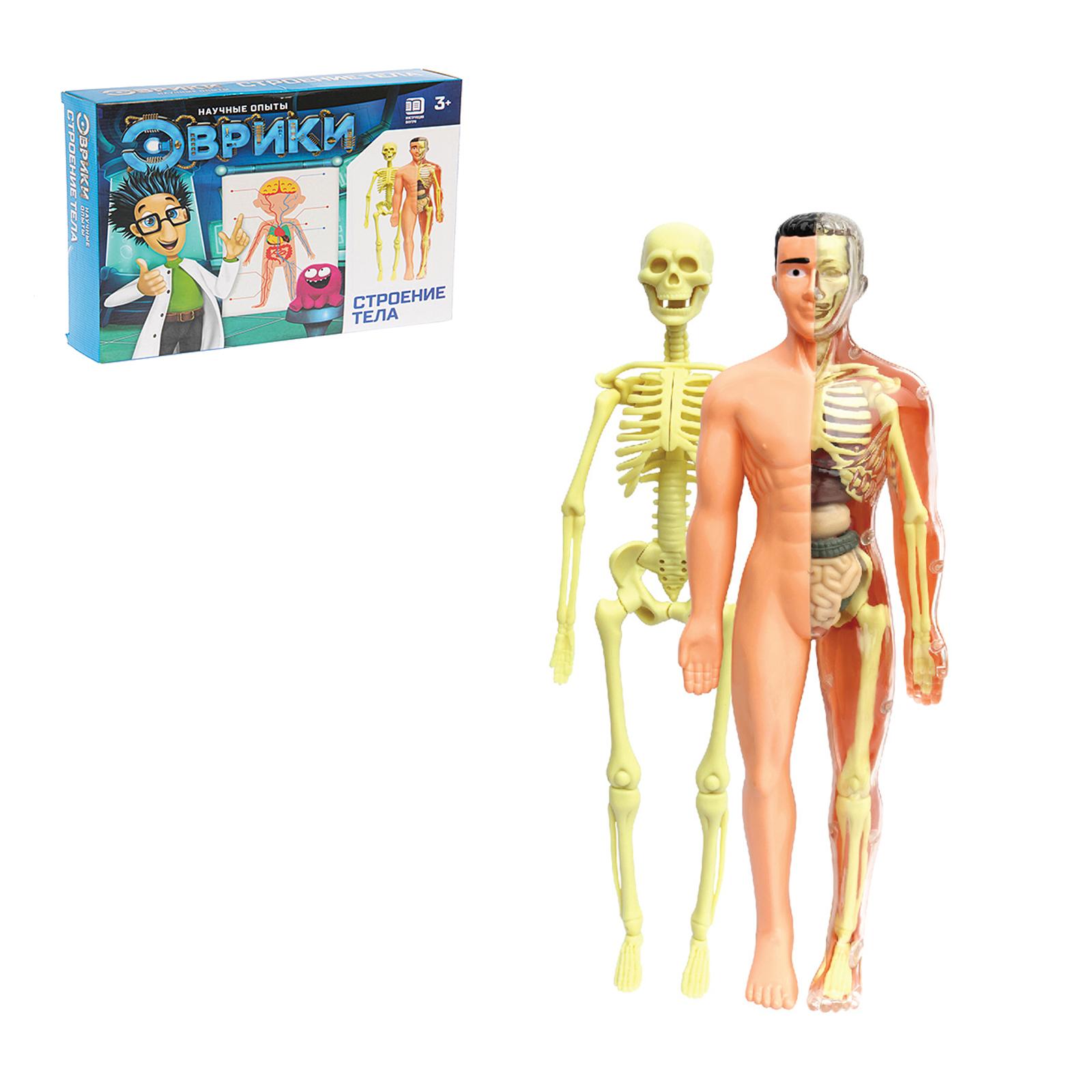 Строение тела (скелет + органы)